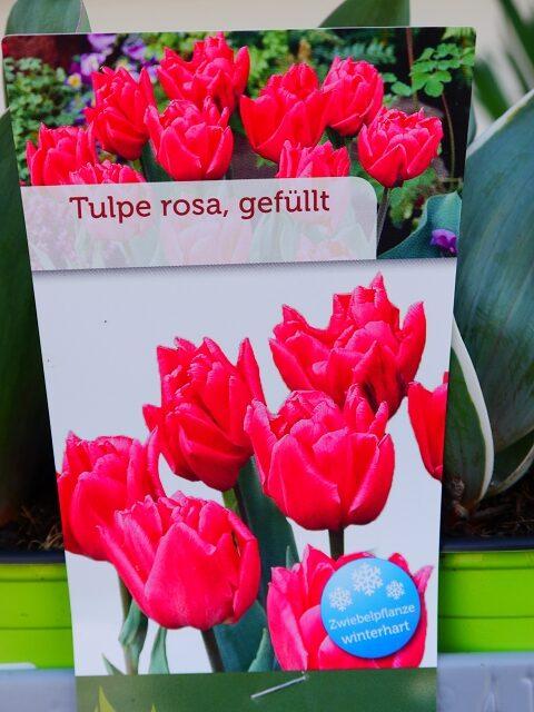 Tulpe rosa gefüllt 4,00€