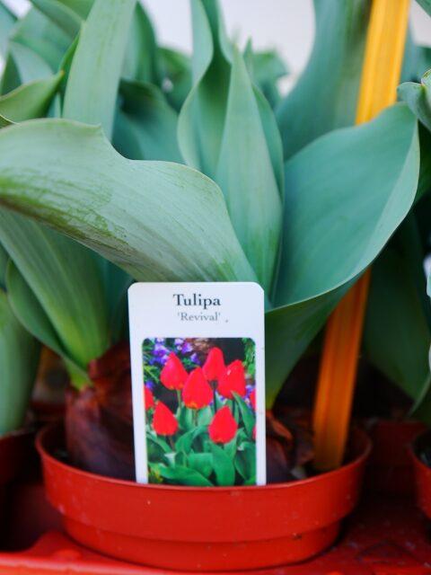 Tulpe rot 4,00€