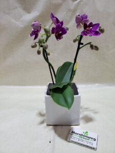 Mini-Orchidee mit weißem rechteckübertopf